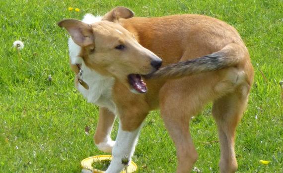Foto van hond die zijn eigen staart achterna zit. Foto van Lil Shepherd op Flickr, zie https://www.flickr.com/photos/lilshepherd/7209126530