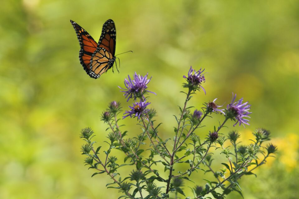 vlinder nadert distelstruik